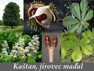 Kaštan, jírovec maďal - účinky na zdraví, co léčí, použití, užívání, využití - Bylinky pro všechny Herb Garden, Garden Sculpture, Herbs, Outdoor Decor, Plants, Herbs Garden, Herb, Plant, Planets