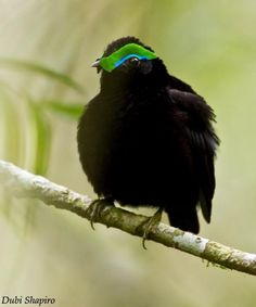 Velvet Asity (Philepitta castanea) Male displaying | the Internet Bird Collection | HBW Alive