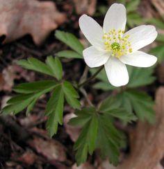 Sasanka hajní je druh rostlin patřící do čeledě pryskyřníkovité. Rostlina je vysoká 30–50 cm, kvete v květnu až červnu.