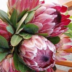 Protea indigenous to South africa Gorgeous! Protea Art, Protea Flower, Exotic Flowers, Amazing Flowers, Love Flowers, Wedding Flowers, Protea Wedding, Wedding Bouquet, Art Floral