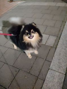 Cute Baby Dogs, Cute Dogs And Puppies, Cute Baby Animals, Cute Babies, Spitz Pomeranian, Cute Pomeranian, Pomeranians, Bts Dogs, Dog Life