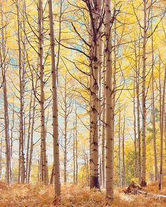 Translucent Forest by the Ansel Adams of color photograph, Christopher Burkett.  Colorado, Aspens