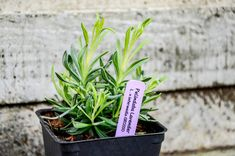 If you have picked up a few plants from your local nursery (or plan to!), but have not yet broken ground to plant them, we've put together . Lavender Crafts, Lavender Garden, Retaining Water, Growing Lavender, Colorful Flowers, Planting, Color Schemes, Bloom, Diy Projects
