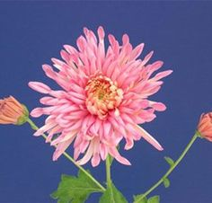 The Fancy Free Perennial Mum plant produces very large, soft-looking, blushing pink, spoon-shaped blossoms that are loaded with quills. The 5 to 6-inch flowers appear fancy and frilly