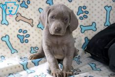 This is a handsome Weimaraner puppy who will make a great family companion. Super Cute Animals, Cute Funny Animals, Cute Baby Animals, Cutest Animals, Wild Animals, Weimaraner Puppies, Puppies For Sale, Dogs And Puppies, Doggies