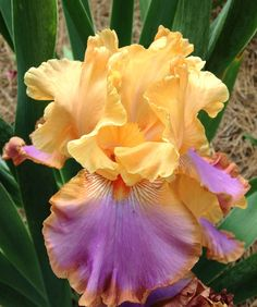 "Tall Bearded Iris ""Grand Canyon Sunset"" from Schreiner's."