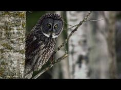 From wintry treetops, Great Grey Owls can hear a teeny tiny vole digging underneath the snow. - National Geographic