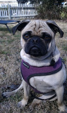 Cute harness on pug xxx