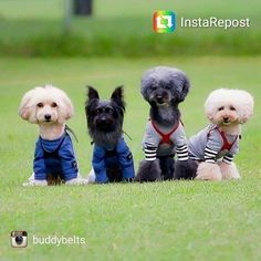 Football team in their matching Buddy Belt harnesses! Happy Sunday everyone! #footballteam #buddybelts #bblove #handcrafted #leather #harness #petaccessories #weekendwarrior #weekend #dogs #sgpetlovers #sgpets #sgdogs #petsmagazinesg #clubpetsmagazine #ilovemydog #magasinmiyabi http://buff.ly/2eisMed