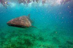 Snorkel con tiburones ballena