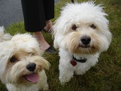 Havanese Dogs - how can you not smile back???