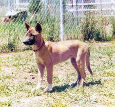 Dora the sociable dingo