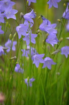 Prairie Moon Nursery :: Seeds :: Campanula rotundifolia (Harebell)