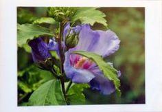 Fotokarte lila-Hibiskus-Bluete