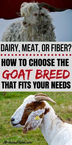 So you want goats but you're not sure what kind to get. All goats are cute so how else can you decide? Here's is our guide to help you pick your perfect goat breed based on your specific needs. Raising Farm Animals, Raising Goats, Types Of Goats, Goat Toys, Female Goat, Goat Shelter, Happy Goat, Goat Care, Mini Farm