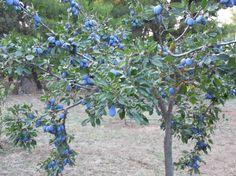Plum tree full of plums, July. Δαμασκηνιά, Ιούλιος