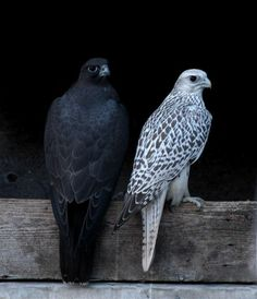 Gyrfalcons..Black morph female (larger) with male on her right
