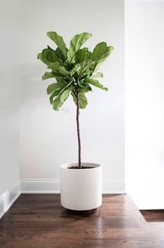 Find out how to grow and care for fiddle leaf fig. Learn about the right growing requirements and fiddle leaf fig care below.Find out how to grow and care for fiddle leaf fig. Learn about the right growing requirements and fiddle leaf fig care below. Potted Plants, Garden Plants, Hanging Plants, Cactus Plants, Cactus Flower, Big Leaf Plants, Silk Plants, Tropical Flowers, Tropical Plants