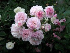 'Pink Prosperity ' Rose Photo