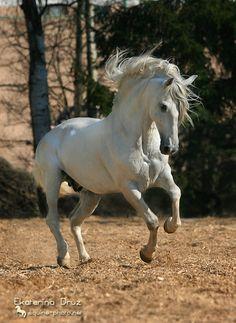 Don XIX, лошадь АссоциацииАндалузов в России Автор: KatyaD