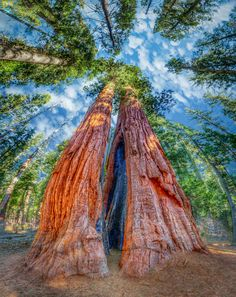 """""""Mother  Son"""" two trees named for their respective sizes; Calaveras Big Trees State Park - Arnold, CA 