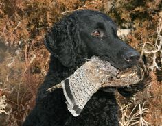 Curly Coated Retriever - At a distance, the curly-coated retriever is often mistakenly identified as a Labrador because the curly shares the Lab's conformation and passion for finding, flushing and fetching gamebirds.