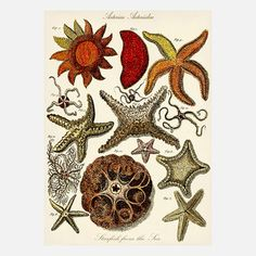"Colorful Sea Stars by Adam's Ale Art - This vintage-style print was reproduced from a 1788 publication by James Barbut. Unframed print measures 12"" wide x 17"" high. Image measures 12"" wide x 16"" high. Matte finish. Material: Expressions 100/100 Weight Cardstock and Pigment. Print type: Digital ($21/$24 retail price)"