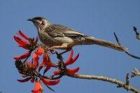 Red Wattlebird -  Scientific Name: Anthochaera carunculata  Featured bird groups: Honeyeaters