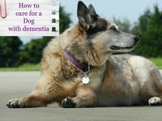 How to Care for A Dog With Dementia called Canine Cognitive Dysfunctional Syndrome in the Veterinary World