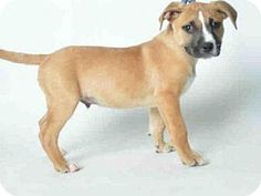 CHOCOLATE located in Ukiah, CA has 11 days Left to Live. Adopt him now!