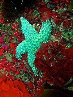 Sea Star - These are the only animal or fish that does not have a brain !!!