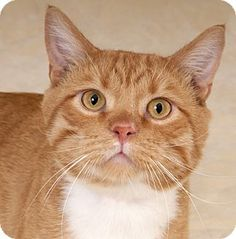 Chicago, IL - Domestic Shorthair. Meet Henry, a cat for adoption. http://www.adoptapet.com/pet/13741379-chicago-illinois-cat
