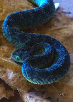 snake-lovers:  Green Bush Viper (Atheris squamigera)  Oh my gosh. Oh my gosh. Why are so many fantasy dragons so boring when shit like this beautiful baby exists?