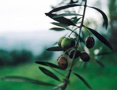 The Italian Job: A Vacation Villa, Olive Grove Included Gardenista
