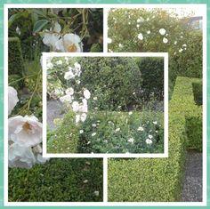 Rosa Margareth Merril, deze mooie sterke roos hebben we aangeplant in 1998. Het is een stamroos die in het midden van de voortuin staat. Verder staan er witte bloemen zoals Kalmeris Incisa Alba en onder de roos vrouwenmantel. Natuurlijk zijn er ook buxusvormen die netjes geknipt zijn.