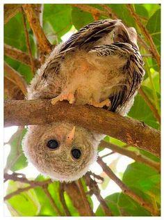 Owl upside down