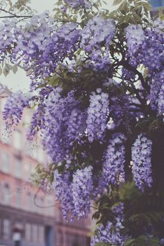 garden photography Wisteria on the streets of Copenhagen.
