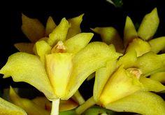 Xylobium ornatum