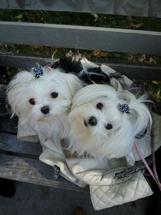 Maltese and Children: Is It a Good Combination - Champion Dogs Cute Puppies, Cute Dogs, Dogs And Puppies, Doggies, Shih Tzu, Sweet Dogs, Maltese Dogs, Teacup Maltese, Teacup Puppies