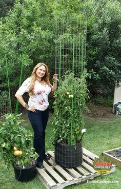 """Tall, """"Tomato Tower"""" made from galvanized metal fencing and plastic landscape poles. Up to 10'feet tall for REAL tomato support. Foodie Gardener, Shirley Bovshow on Home and Family show."""