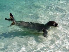 Hawaiian Monk Seal https://www.facebook.com/HMSRP/photos/a.180926815280677.39997.122432601130099/934609679912383/?type=1