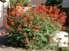 13. Flamboyant-mirim: Caesalpinia pulcherrima. É uma árvore (alguns consideram arbusto lenhoso) de pequeno porte da família das leguminosas. De rápido crescimento, suas folhas são recompostas com folíolos pequenos e permanentes. Sua copa tem um formato arredondado e pode atingir de 3 a 4 metros de altura. Suas flores são vermelhas, alaranjadas, amarelas, rosas ou brancas dependendo do cultivar, dispostas em cachos paniculares. Sua época de floração é entre setembro e maio.