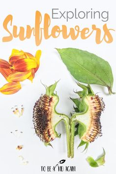 Exploring the Parts of a Sunflower Activity - To be a Kid Again
