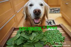 Luck Of The Irish Oatmeal: St Patrick's Day Breakfast - Golden Woofs English Mastiff Dog, Mastiff Dogs, Rachael Ray Magazine, Can Dogs Eat, Luck Of The Irish, Dog Photos, Dog Treats, St Patricks Day, Dog Food Recipes