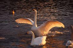 夜明けの白鳥