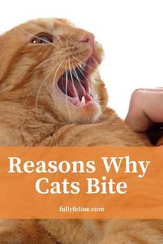 cat facts You may think your cat didnt warn before biting, but its possible she gave you warning signs you didnt understand. Here are some reasons why cats bite: Kitten Biting, Panther, Cat Toilet Training, Cat Care Tips, Pet Care, Pet Tips, Kitten Care, Cats Diy, Cat Behavior