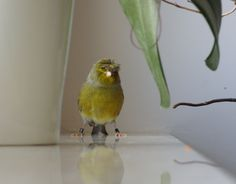 Canary singing, bird sing song, gloster with a crown Śpiew kanarka - Gro...