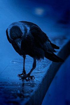 Crow in the rain.