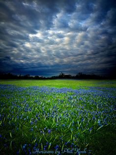 Horizons.  A field of blue flowers against a stormy sky