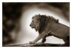 Robby Bolleyn - Lions - On patrol